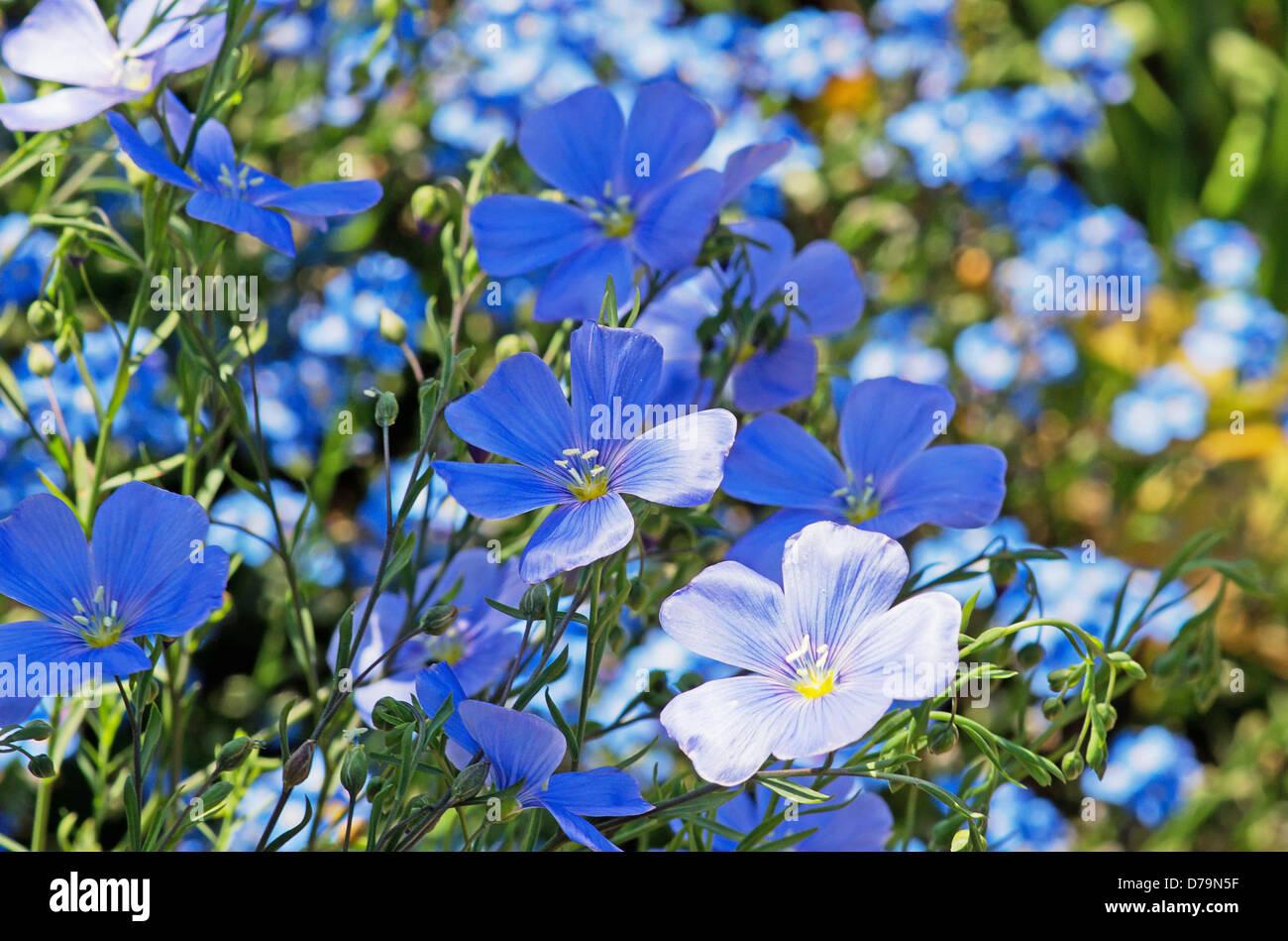 Les Petites Fleurs Bleues De Lin De Vivaces Linum Perenne Banque D