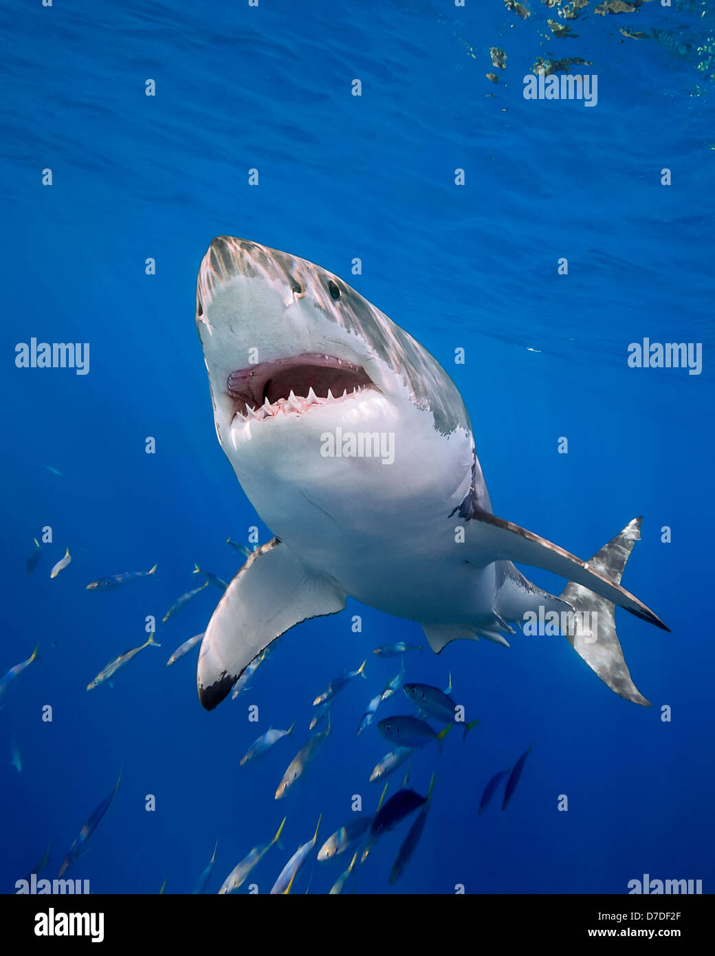 Le grand requin blanc, Carcharodon carcharias, l'île de Guadalupe, Mexique Photo Stock