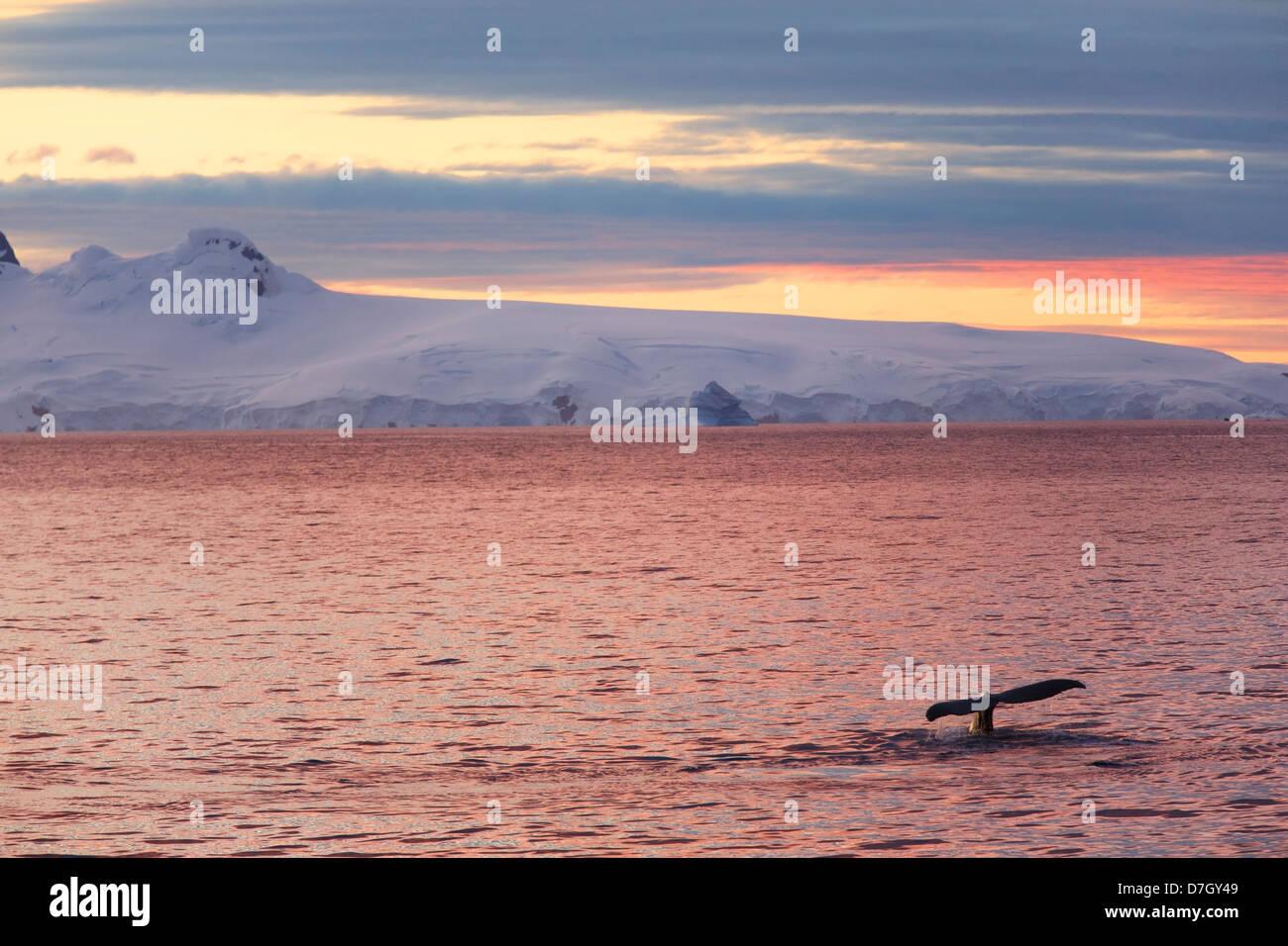 Baleine à bosse (Megaptera novaeangliae) au coucher de soleil / Lever du soleil comme nous voyageons en dessous Banque D'Images