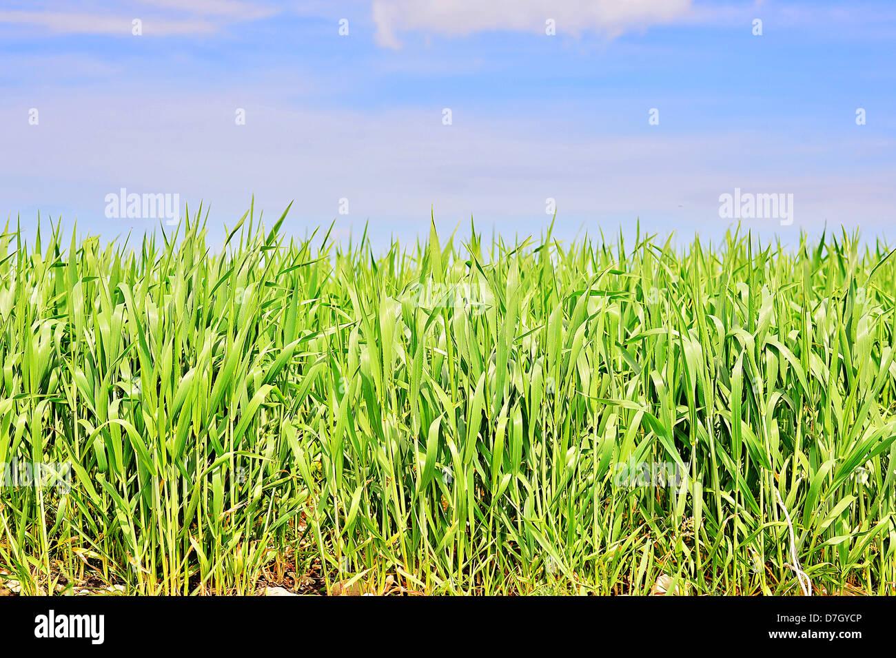 L'herbe verte, Champ, ciel, bleu, arrière-plans, Paysage, Photo Stock