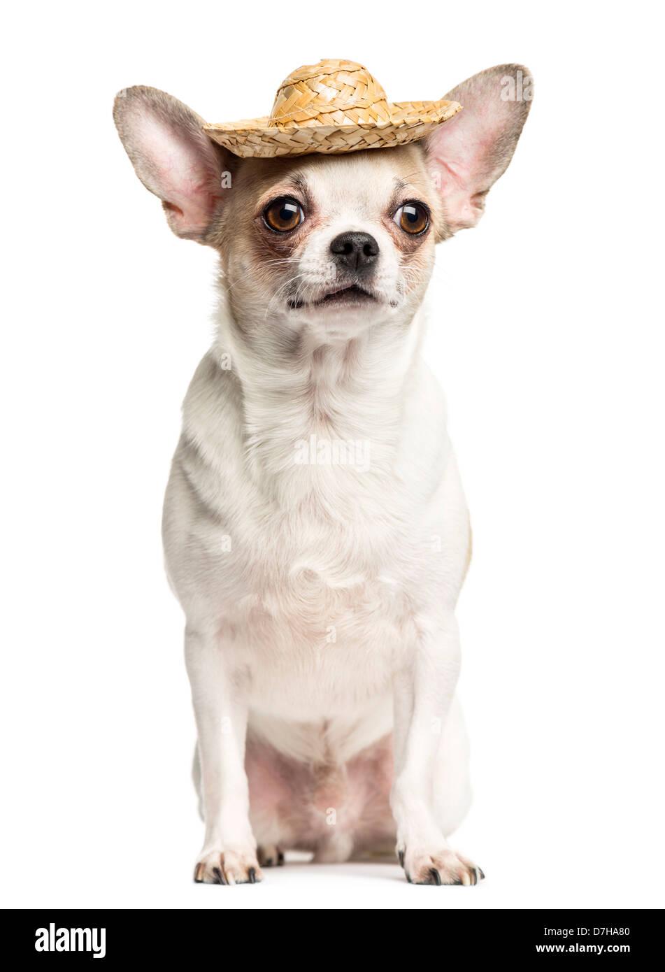 Chihuahua, 2 ans, assis et portant un chapeau de paille contre fond blanc Photo Stock