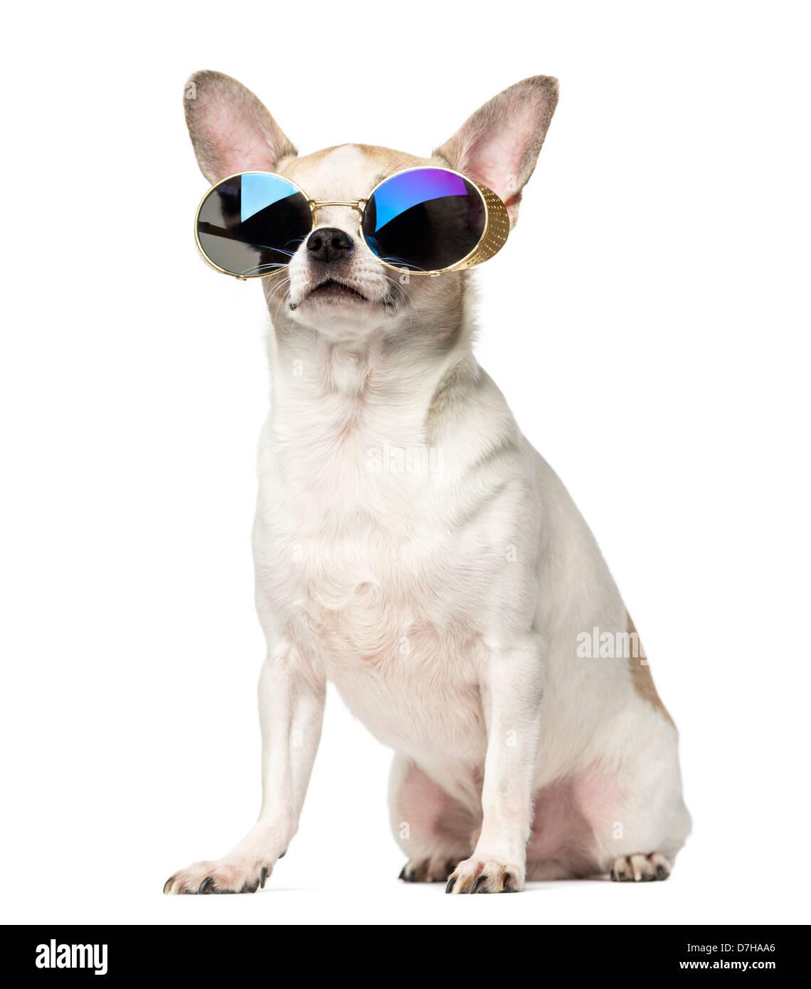 Chihuahua, 2 ans, assis et portant des lunettes de soleil contre fond blanc Photo Stock