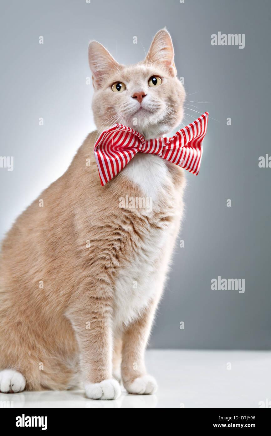 Portrait de chat mignon posant et ornée en rouge strippy bowtie Photo Stock