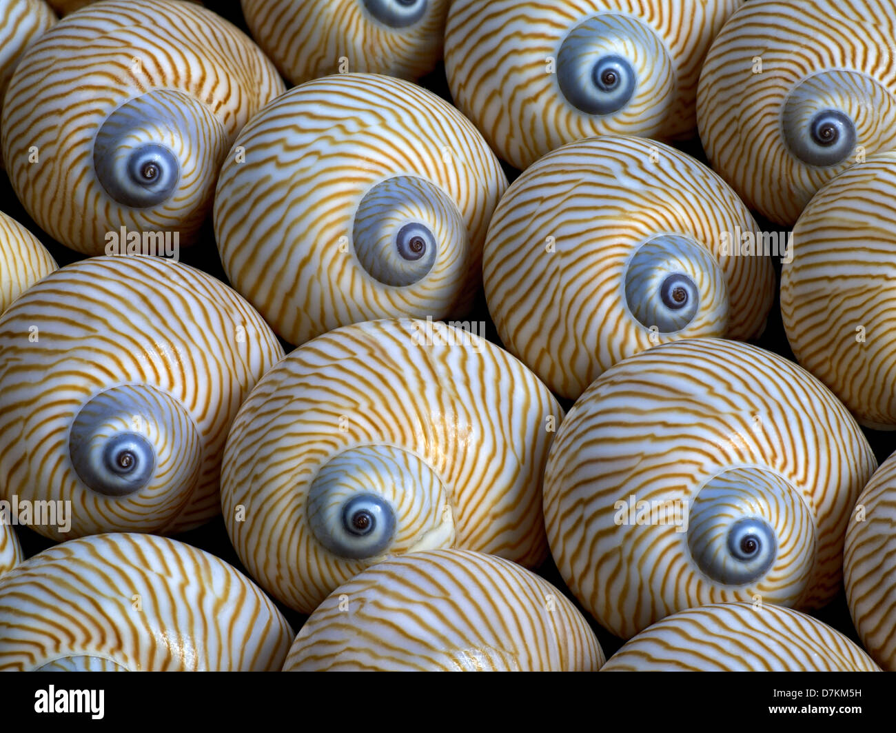 Close up of striped lune sea shell. Photo Stock