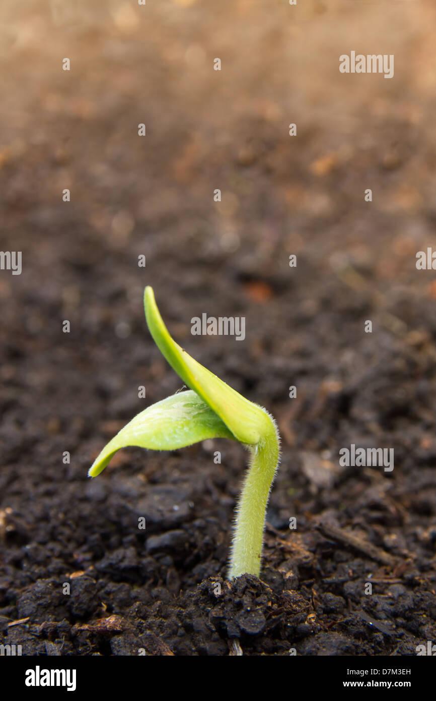 Graines de semis de plantes nouvelle vie germer du sol Photo Stock