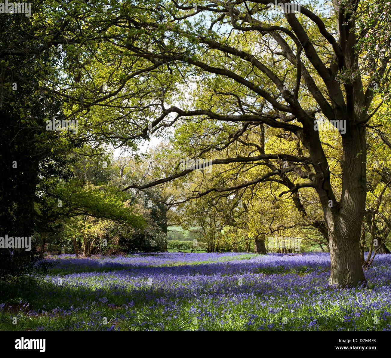 BLUEBELLS DÉVELOPPE À HILLHOUSE WOODS À WEST BERGHOLT, Colchester, Essex, Angleterre Photo Stock