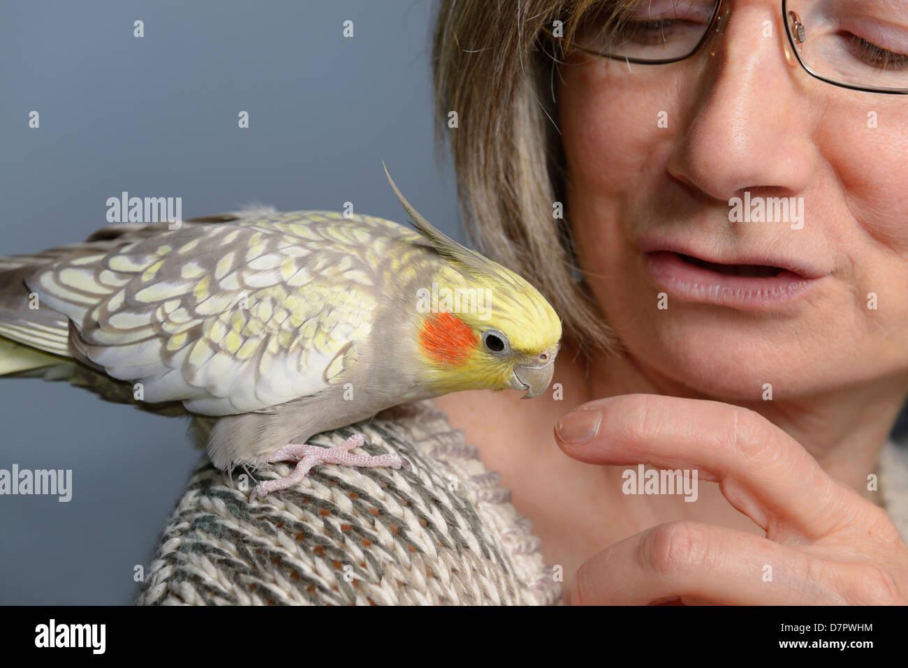 Ambiance animal femelle cockatiel perle oiseau sur l'épaule de femme regardant son doigt Photo Stock