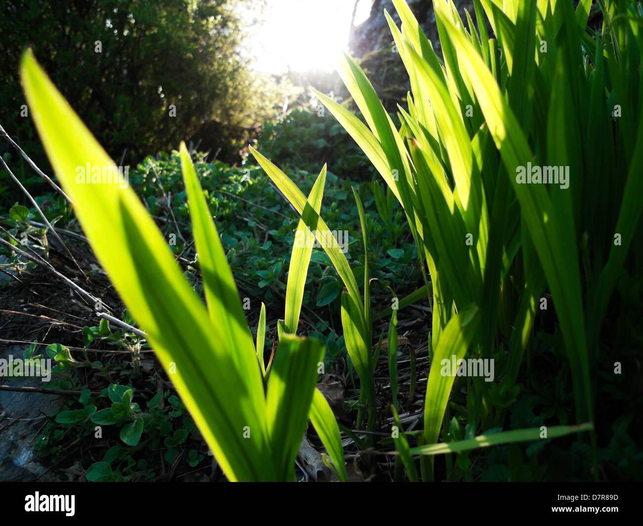 Soir lumière éclairant de feuilles dans un jardin du Pays de Galles UK Photo Stock