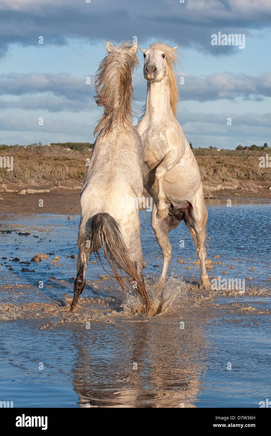 Chevaux Camargue, etalons combats dans l'eau, Bouches du Rhone, Provence, France Photo Stock