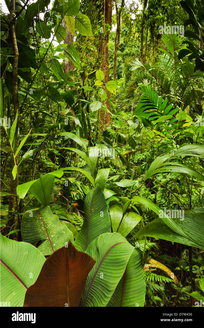 Jungle à ponts suspendus d'Arenal où de forêt vierge est accessible par des passerelles, la Fortuna, Photo Stock