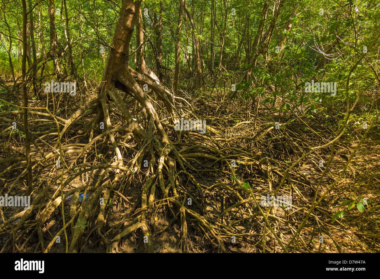 Forêt de mangroves dans la réserve biologique près de l'embouchure de la rivière de Nosara, Photo Stock