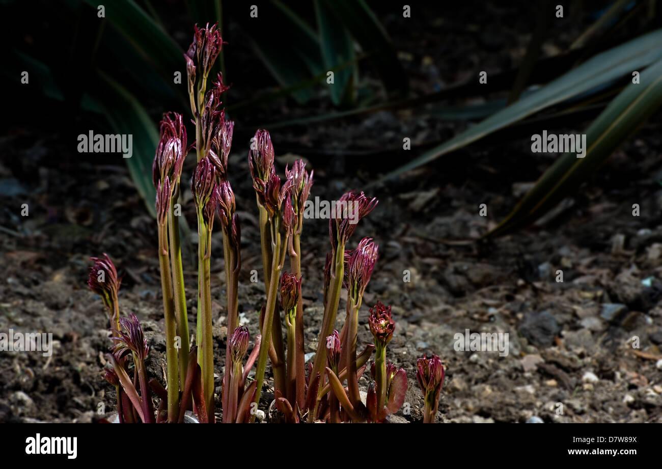 La pivoine 'Sarah Bernhardt' nouveau émergents de la croissance au printemps. Photo Stock