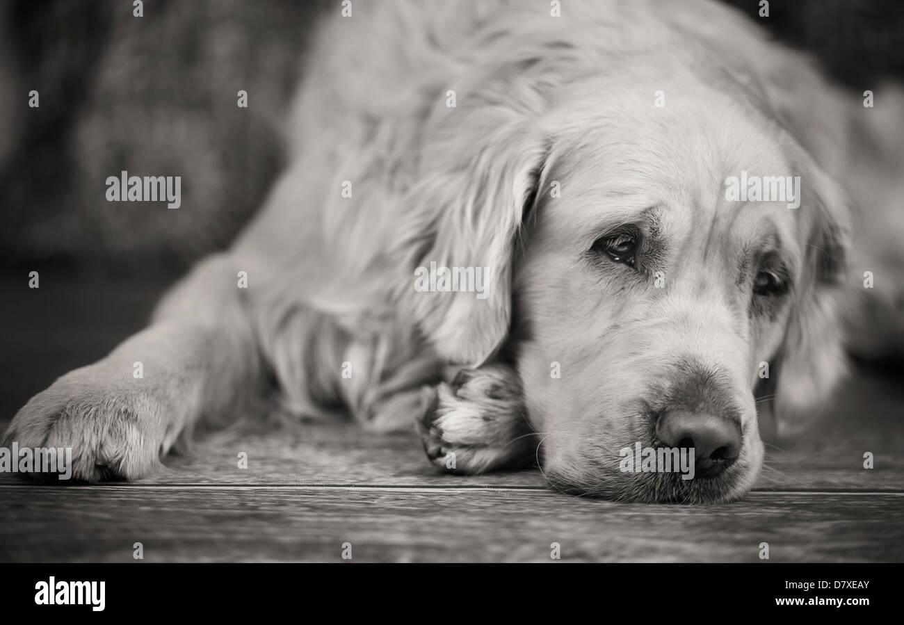 Retriever blanc pose avec regard triste Photo Stock