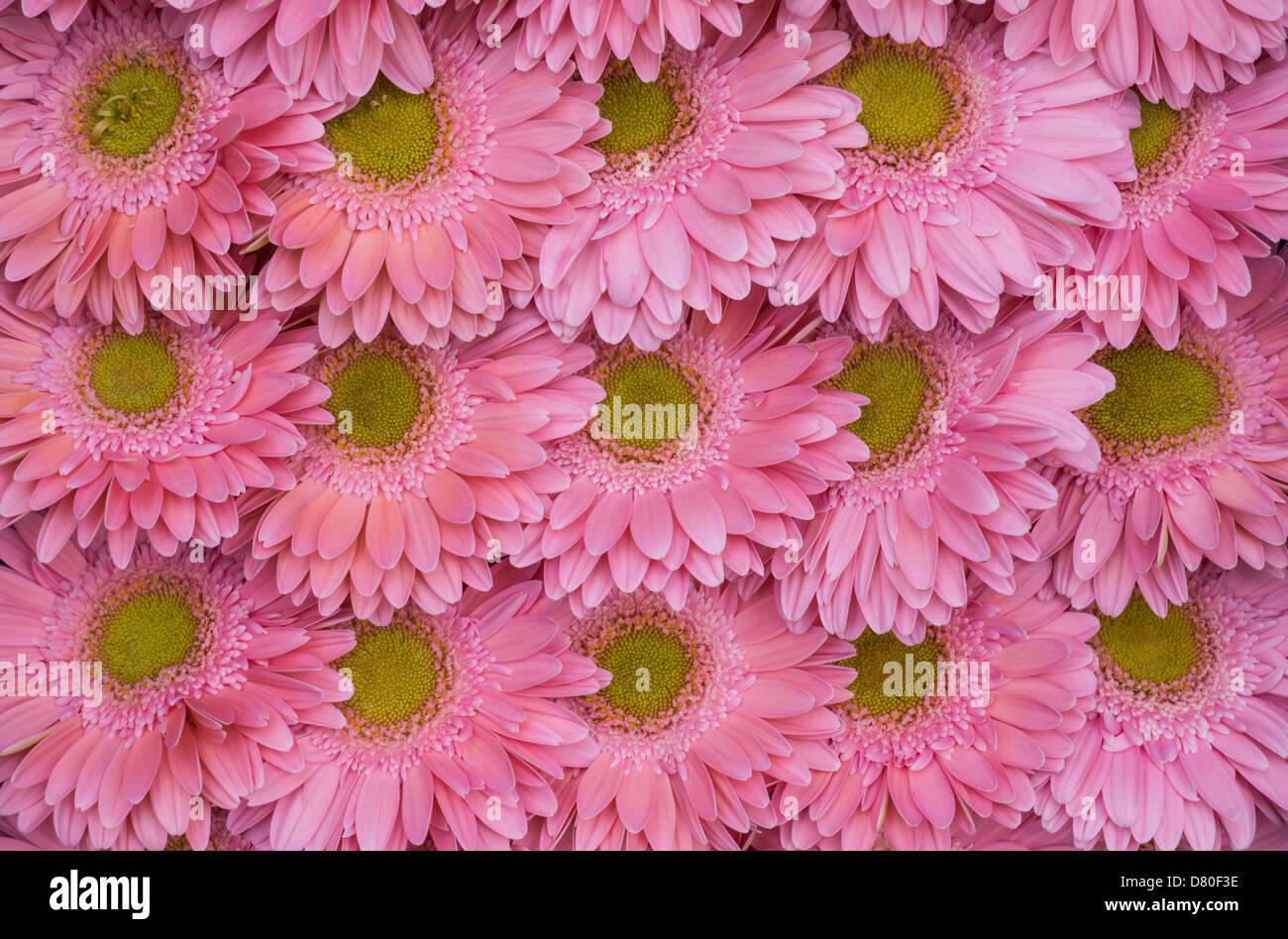 Les gerberas rose profond alignés, quinze fleurs Photo Stock