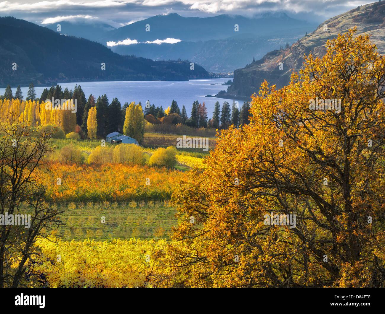 Verger en couleurs d'automne et le fleuve Columbia. Columbia River Gorge National Scenic Area. Oregon Photo Stock