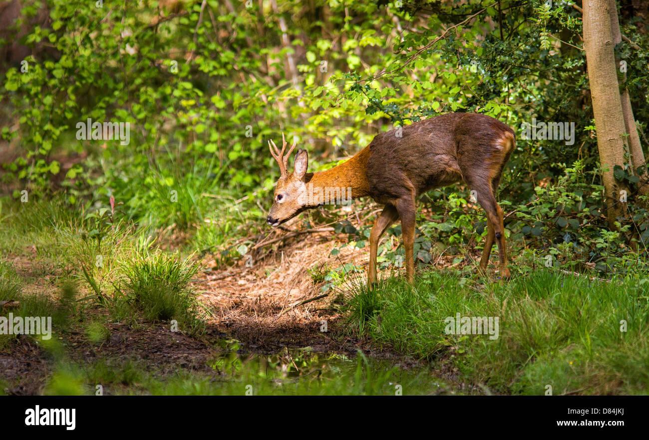 Young Buck chevreuil Capreolus capreolus entrant dans une parcelle de la lumière du soleil à Leigh Woods Bristol Banque D'Images