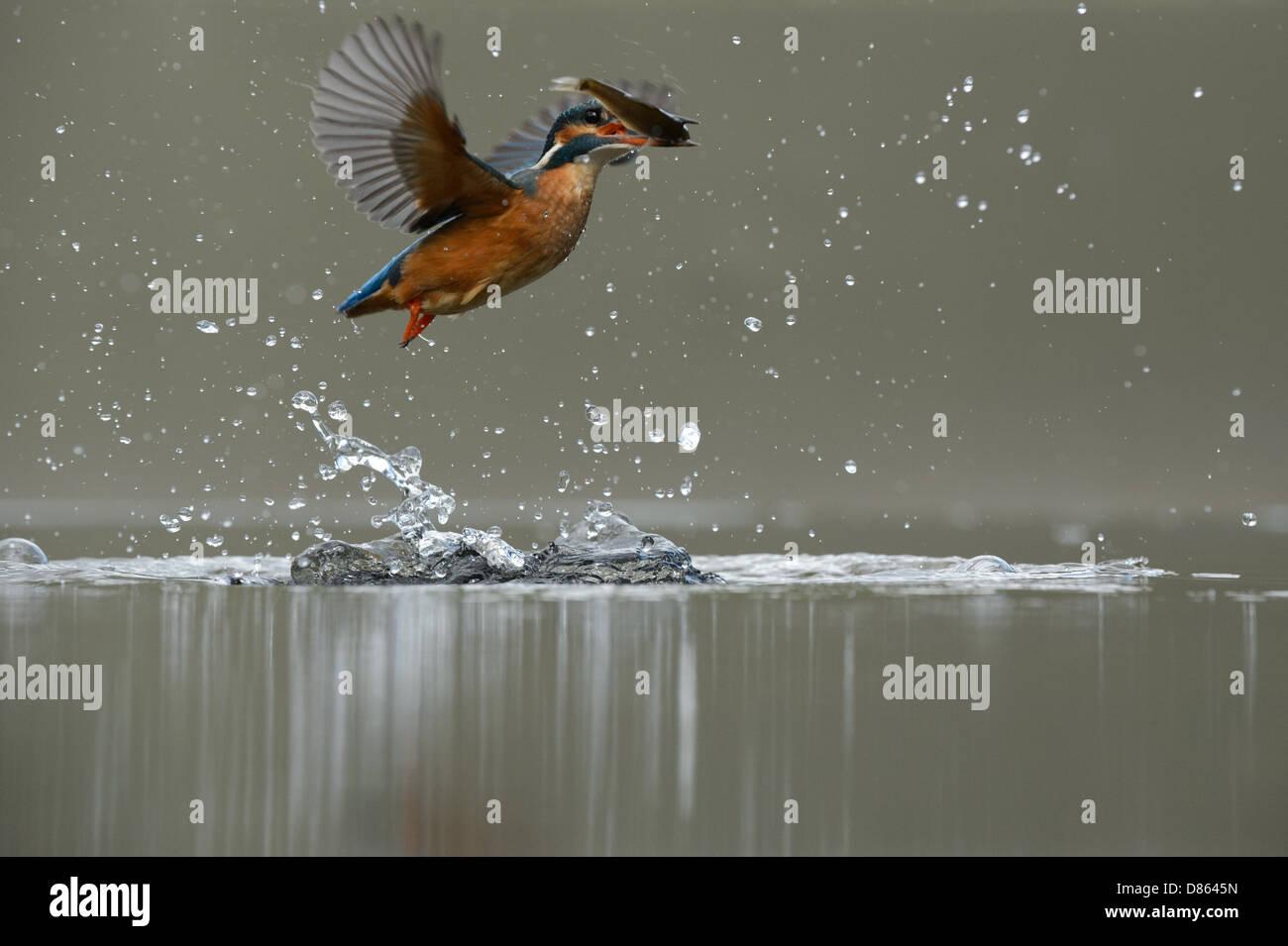 Kingfisher vol après une plongée émergents Photo Stock