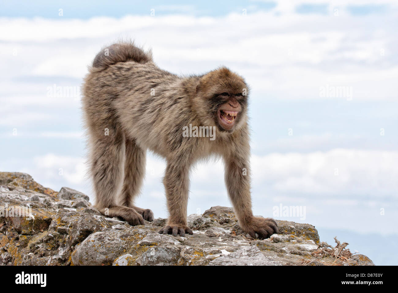 Conditions de reproduction les Macaques de Barbarie - greeting grin Photo Stock