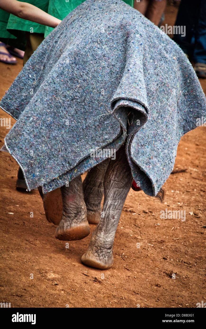 Vue arrière d'un éléphant d'un veau, Loxodonta africana, avec une couverture de protection Photo Stock