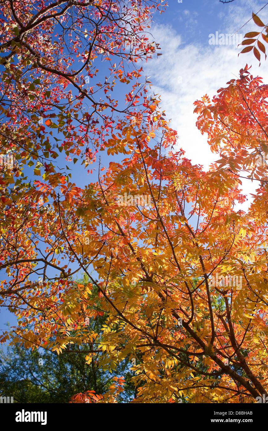les feuilles d 39 automne aux couleurs vives contre un ciel bleu banque d 39 images photo stock. Black Bedroom Furniture Sets. Home Design Ideas