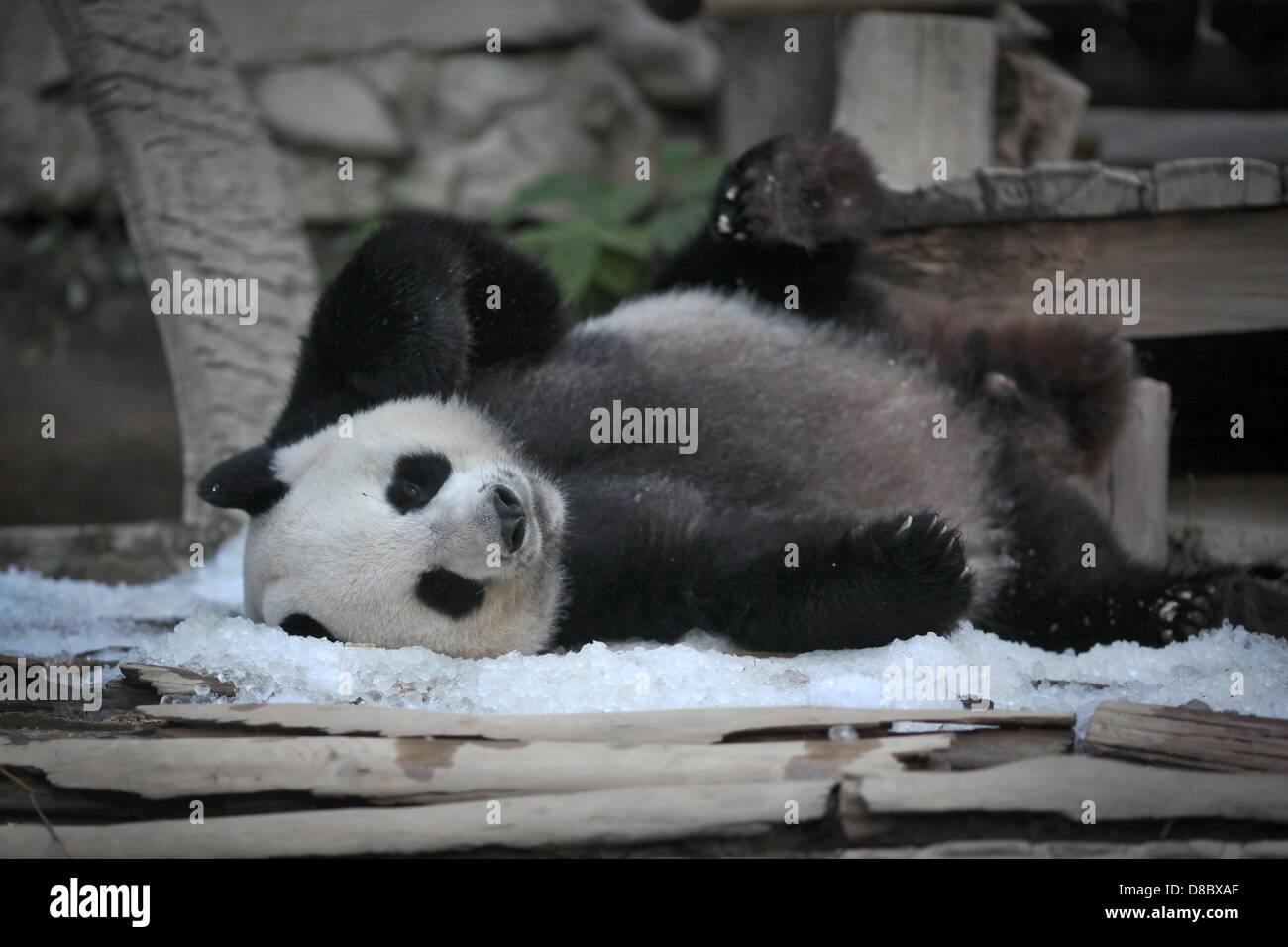 Un panda géant, représentée dans le zoo de Chiang Mai, Thaïlande. Photo: Fredrik von Erichsen Banque D'Images