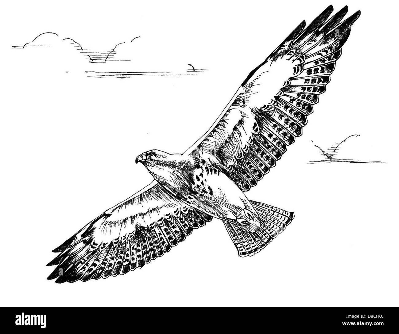 Noir Et Blanc Dessin Doiseau En Vol Hawk Swainson Banque D