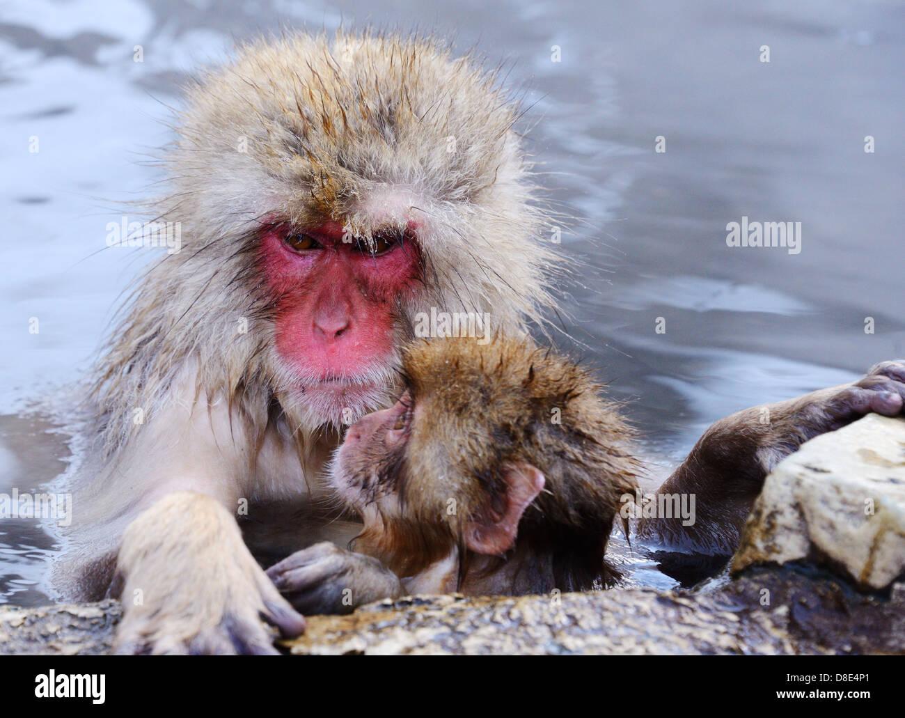 Les singes macaques japonais (neige), à Nagano, au Japon. Photo Stock