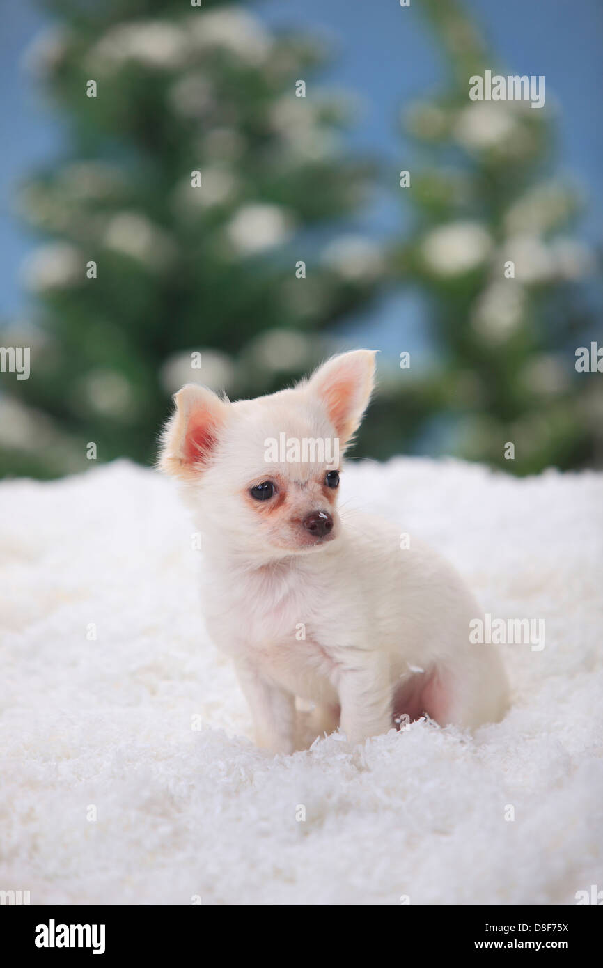 Chiot Chihuahua A Poil Long Blanc 11 Semaines Chihuahua Kurzhaarig Welpe Weiss 11 Wochen Photo Stock Alamy