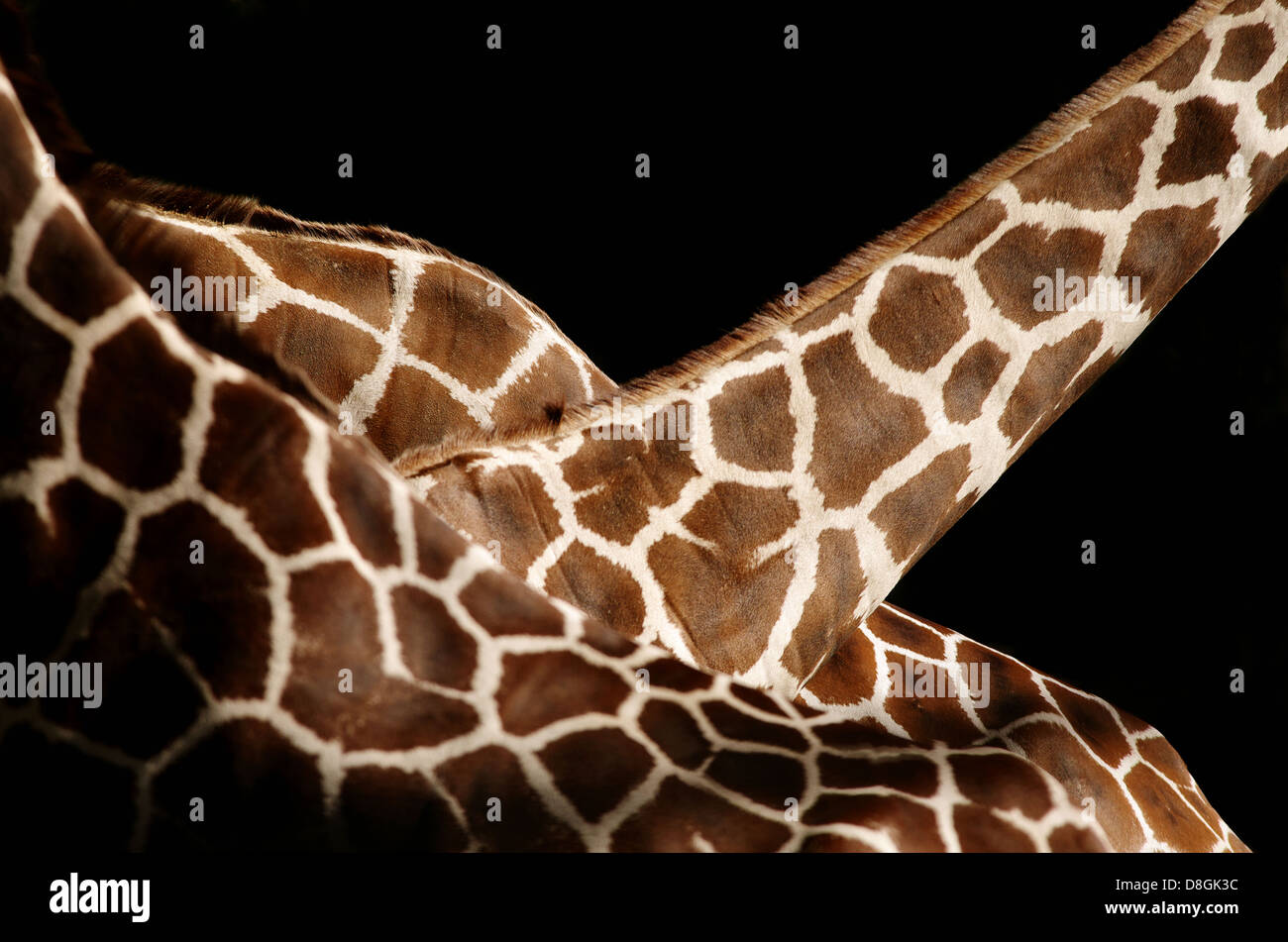 3 Girafes somaliens Banque D'Images