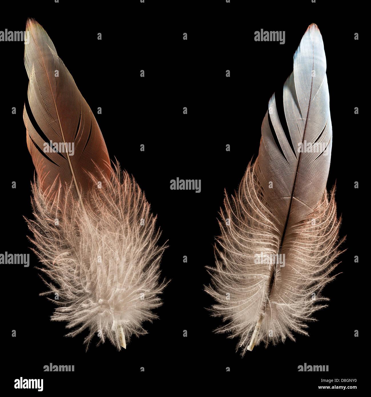 Plume d'oiseau ou de roulement Photo Stock