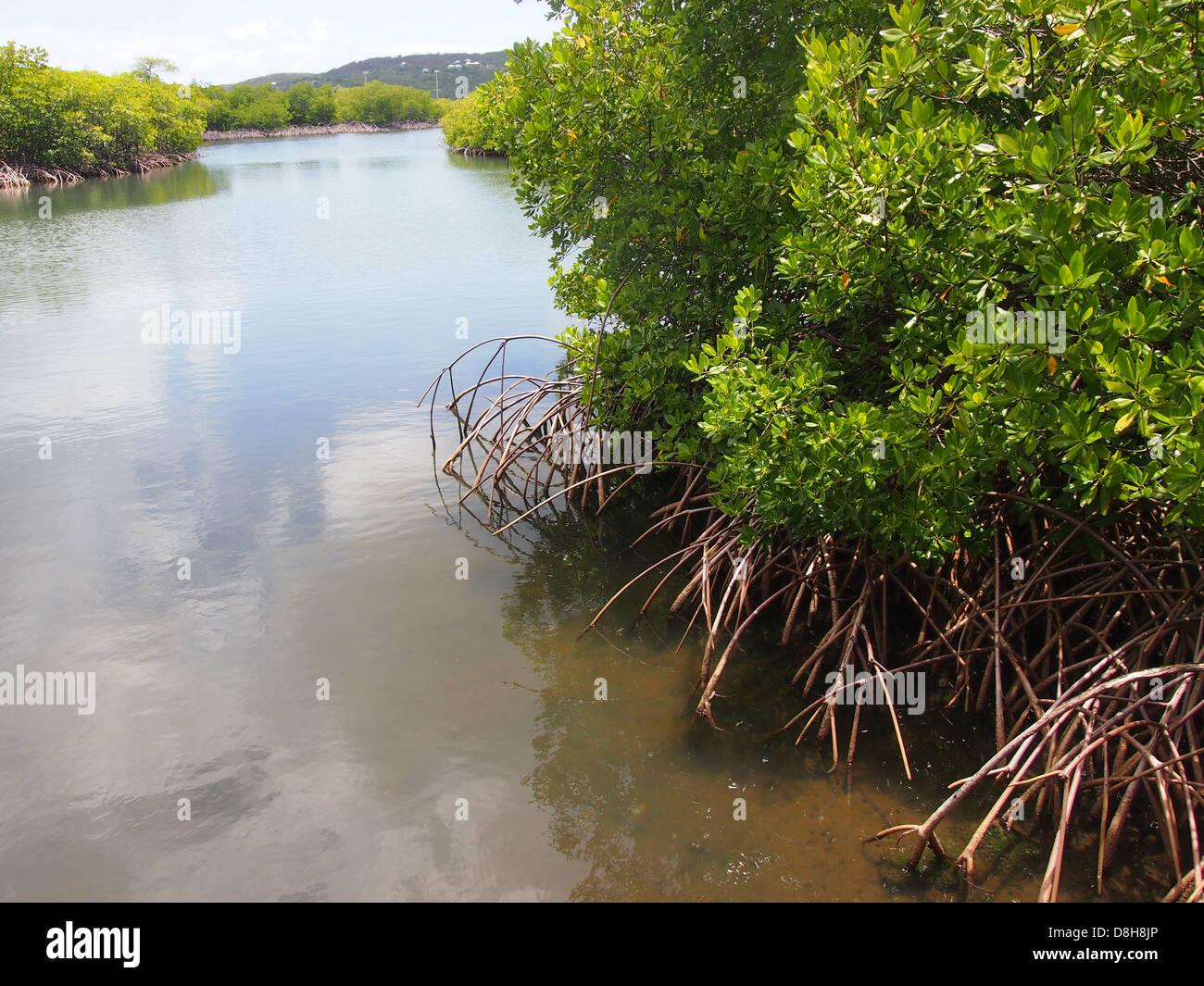 Les mangroves au bord de l'eau Banque D'Images