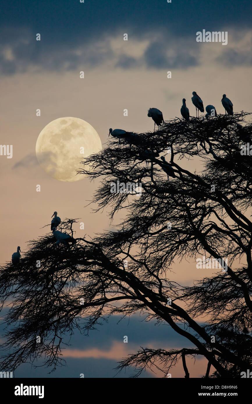 Acacia avec white storks européenne au coucher du soleil.Le nord du Kenya Photo Stock