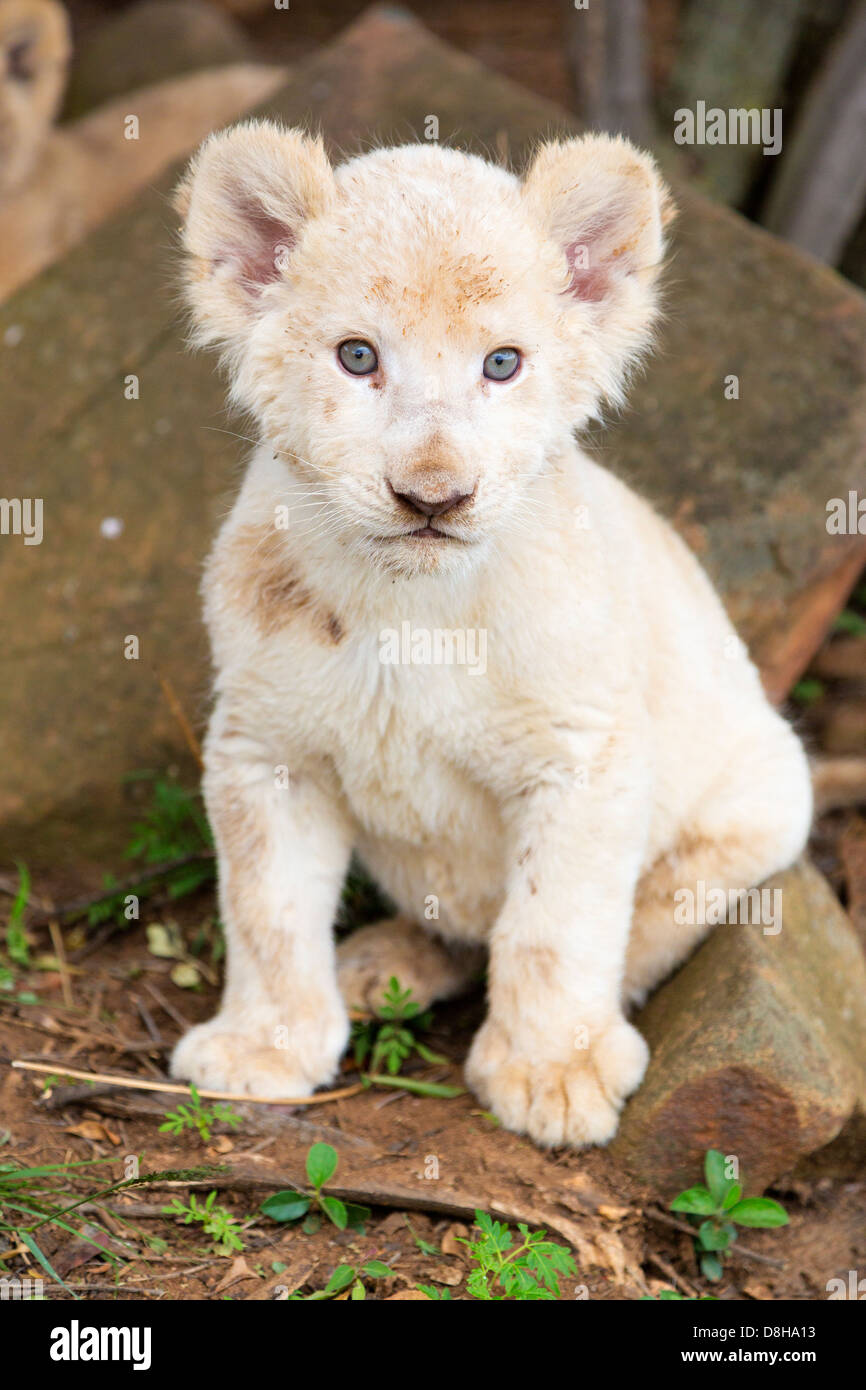 White Lion cub regardant la caméra Photo Stock