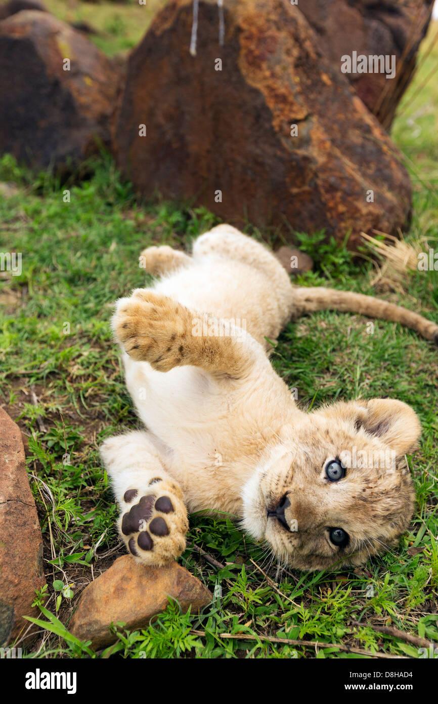 Lion cub roulant sur sa joue à nouveau Photo Stock