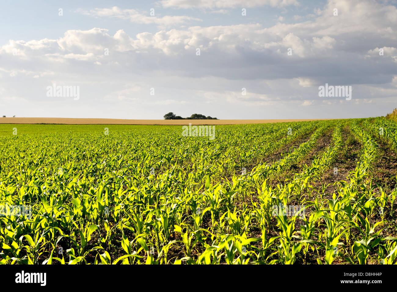 La croissance précoce des épis de maïs maïs maïs semis Semis plantes végétales Photo Stock