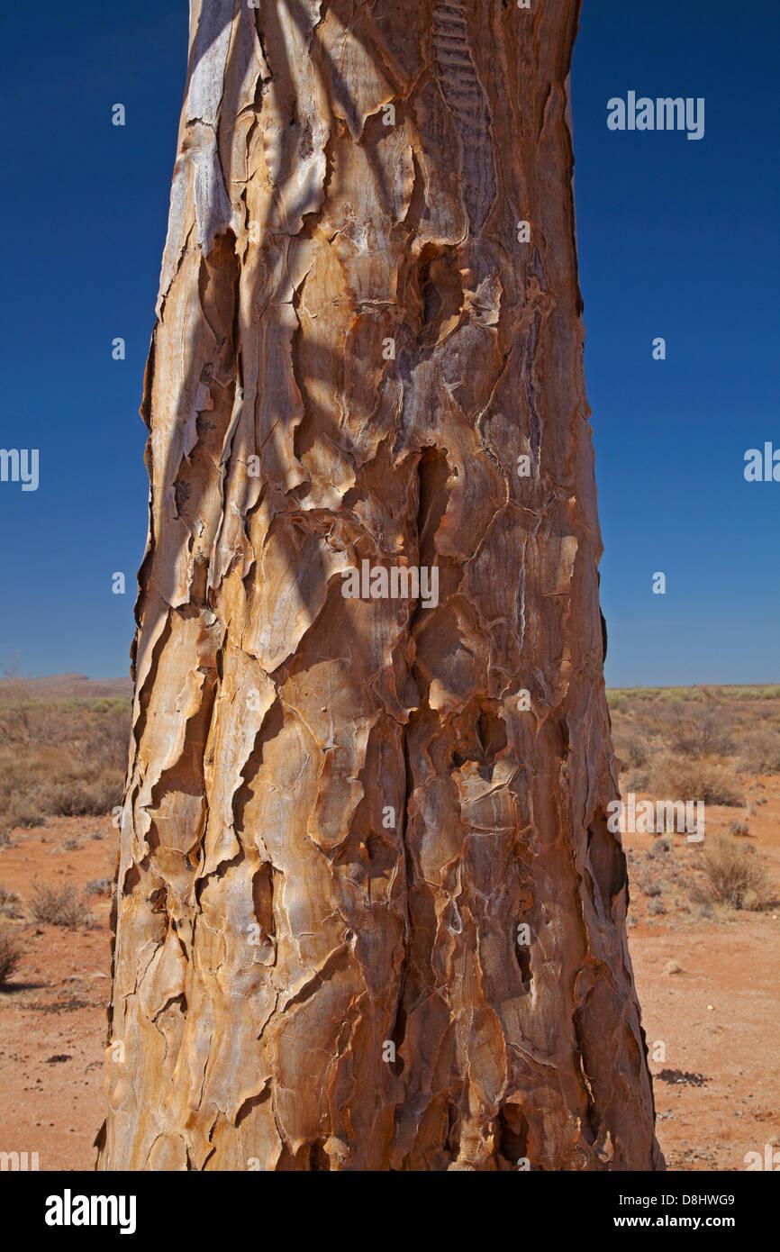 Écorce du tronc de kokerboom ou Quiver Tree (Aloe dichotoma), près de Fish River Canyon, le sud de la Photo Stock