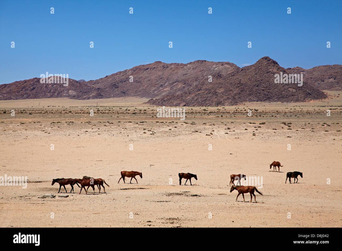 Les chevaux sauvages, Garub, Namib-Naukluft National Park, près de l'Aus, le sud de la Namibie, l'Afrique Banque D'Images