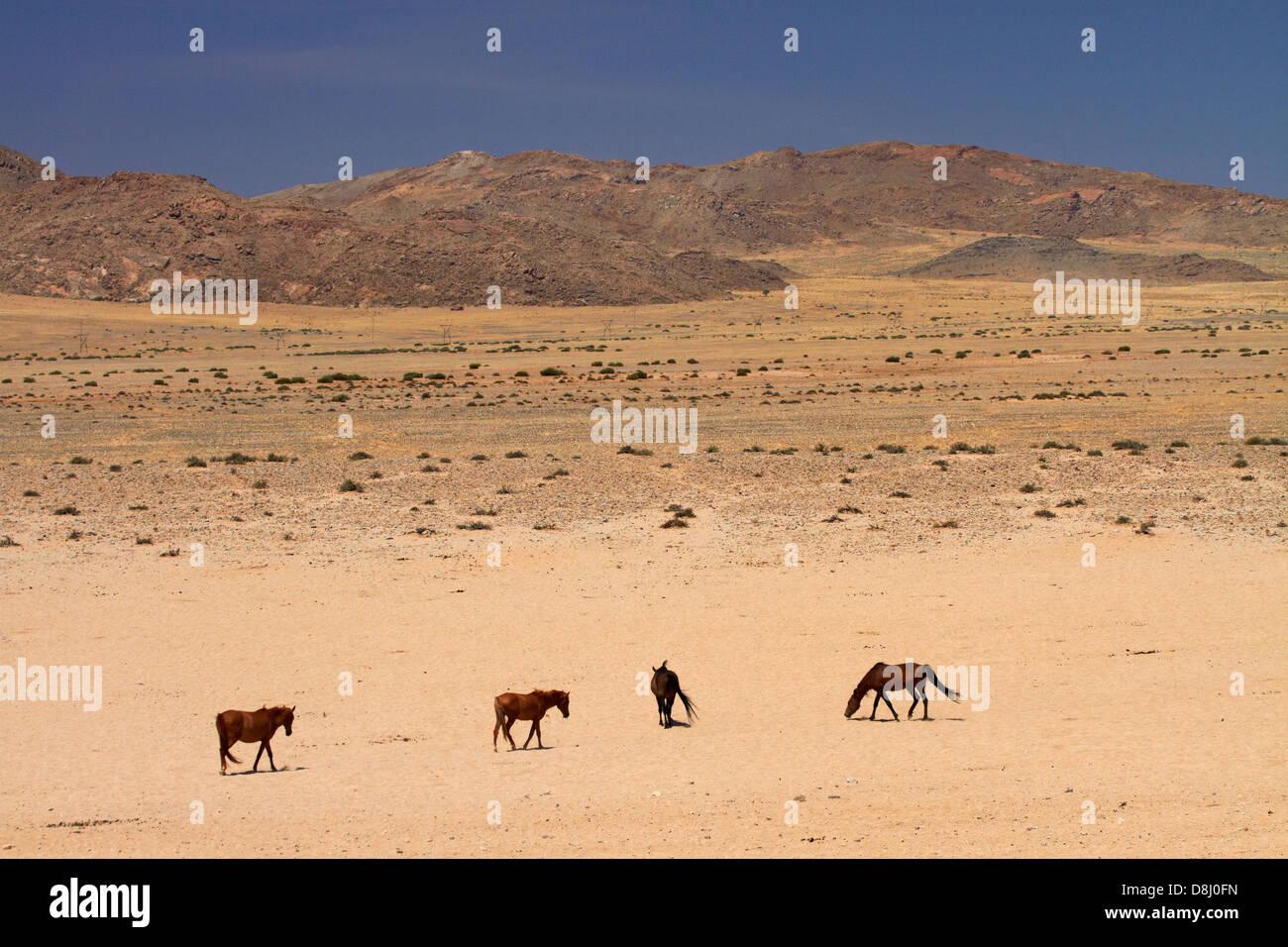 Les chevaux sauvages, Garub, Namib-Naukluft National Park, près de l'Aus, le sud de la Namibie, l'Afrique Photo Stock