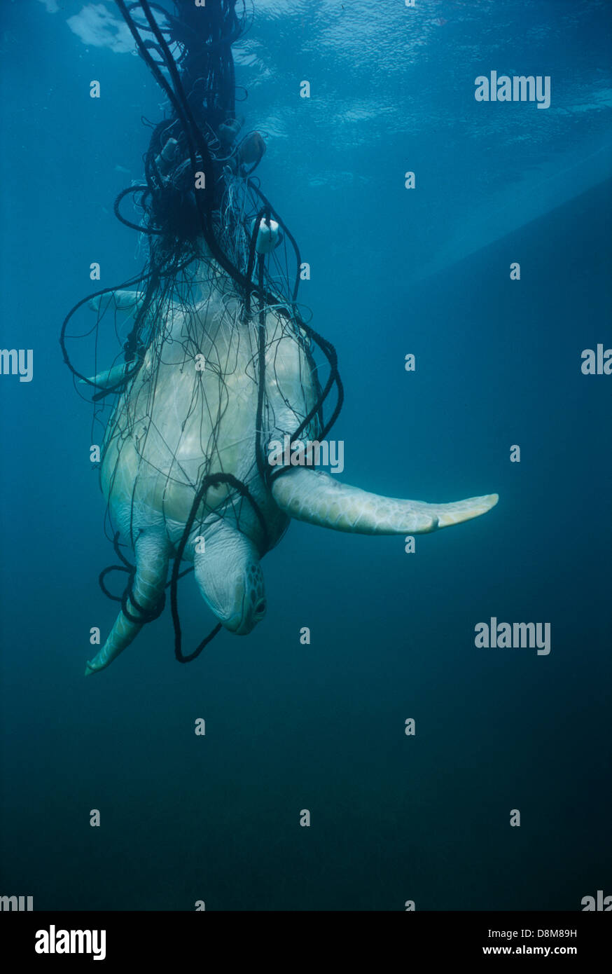 Espèces en tortue de mer verte (Chelonia mydas) coincé dans un filet maillant. Puerto Cabezas, Nicaragua Banque D'Images