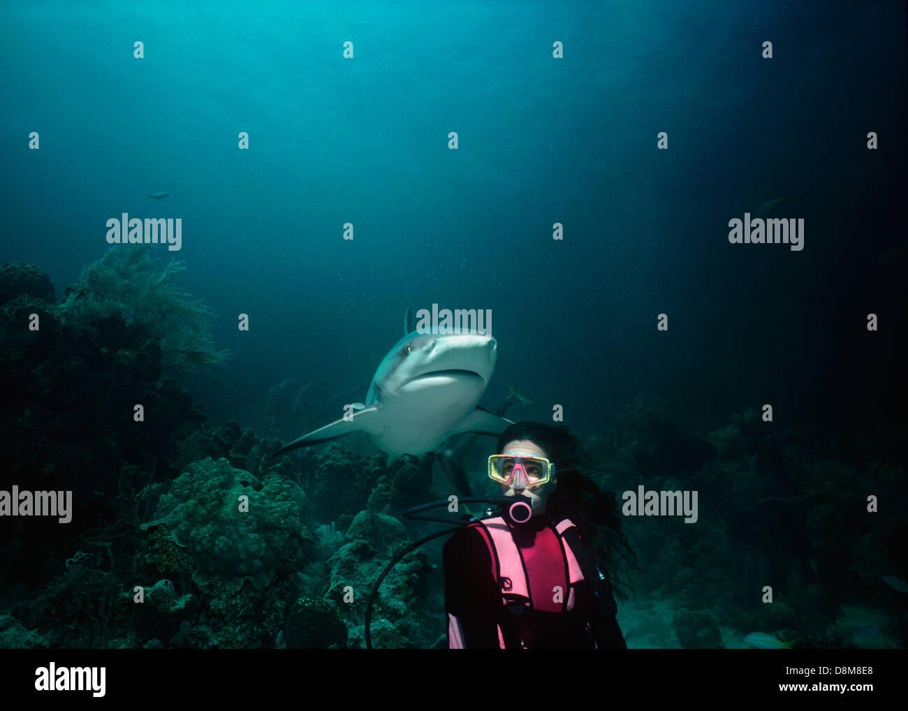 Requin de récif des Caraïbes (Carcharhinus perezi) et plongeur. Bahamas, mer des Caraïbes Photo Stock
