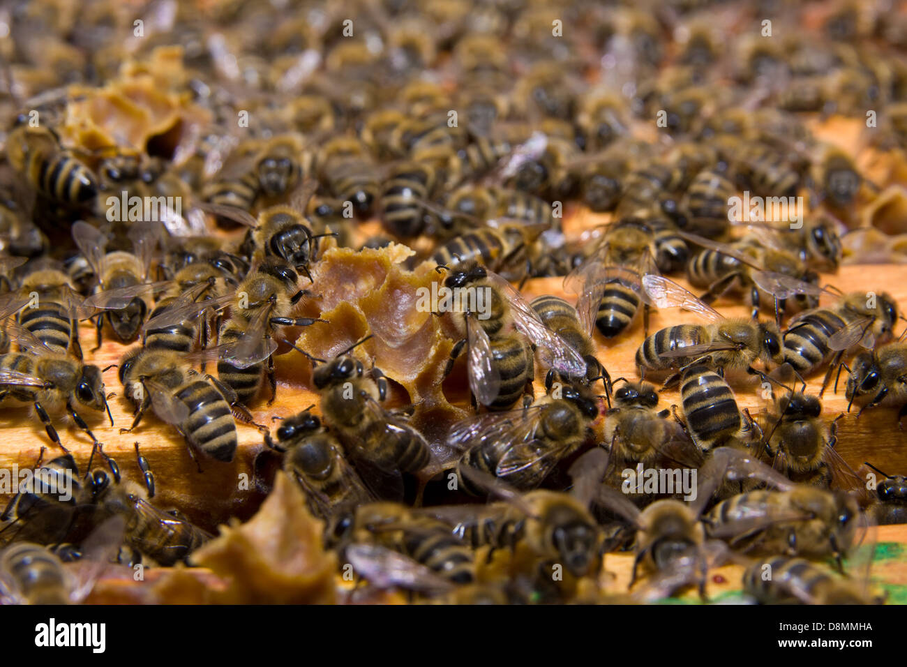 Avec du miel d'abeilles et les abeilles Banque D'Images