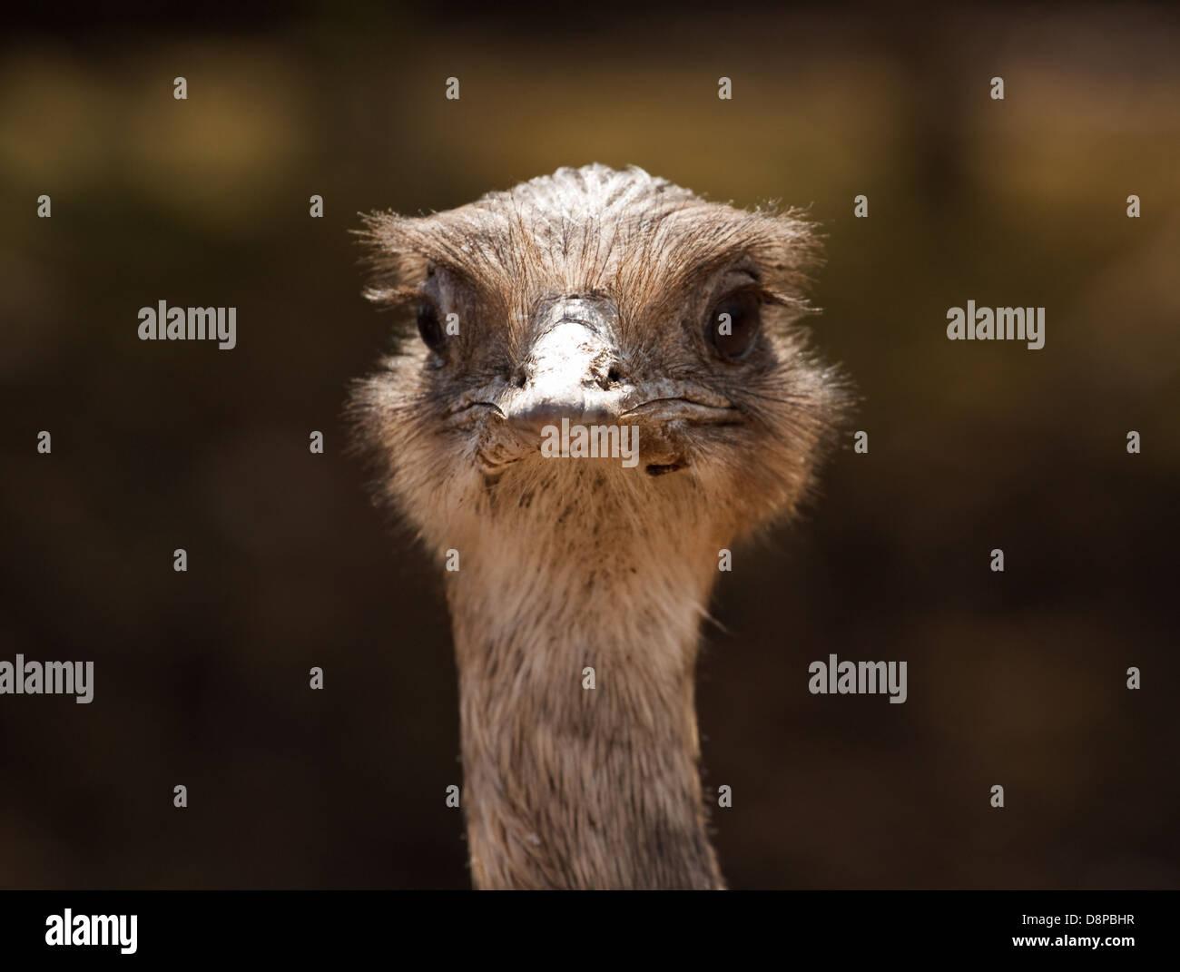 Gros plan de la tête d'autruche à l'avant pour les centres d'accueil ou la notion de déni Photo Stock