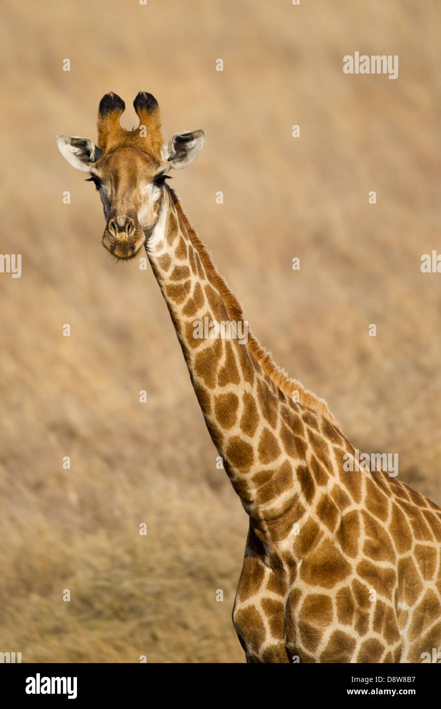 Le sud de Girafe (Giraffa camelopardalis giraffa), Chantôme Game Reserve, Afrique du Sud Photo Stock