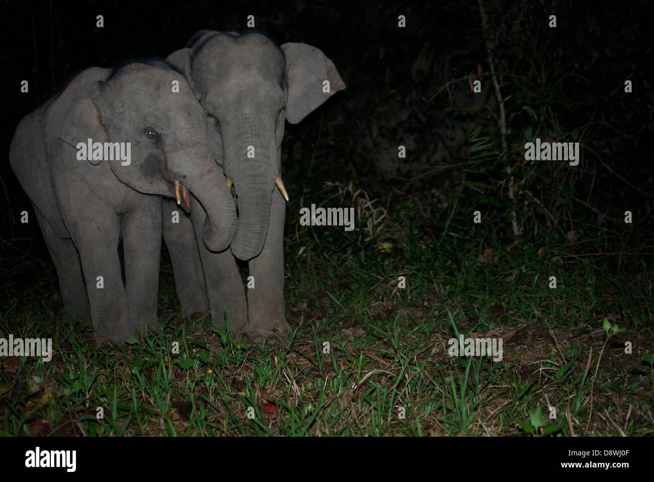 Les juvéniles sauvages les éléphants d'Asie, Elephas maximus. Pang Sida National Park, Thaïlande. Photo Stock