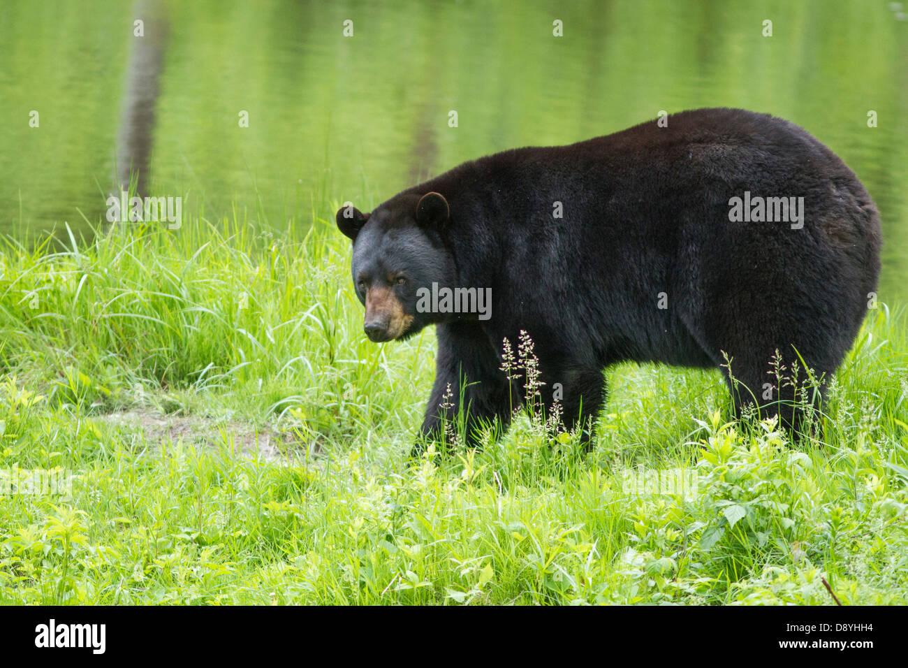Grand mâle ours noir (Ursus americanus) au printemps. Photo Stock