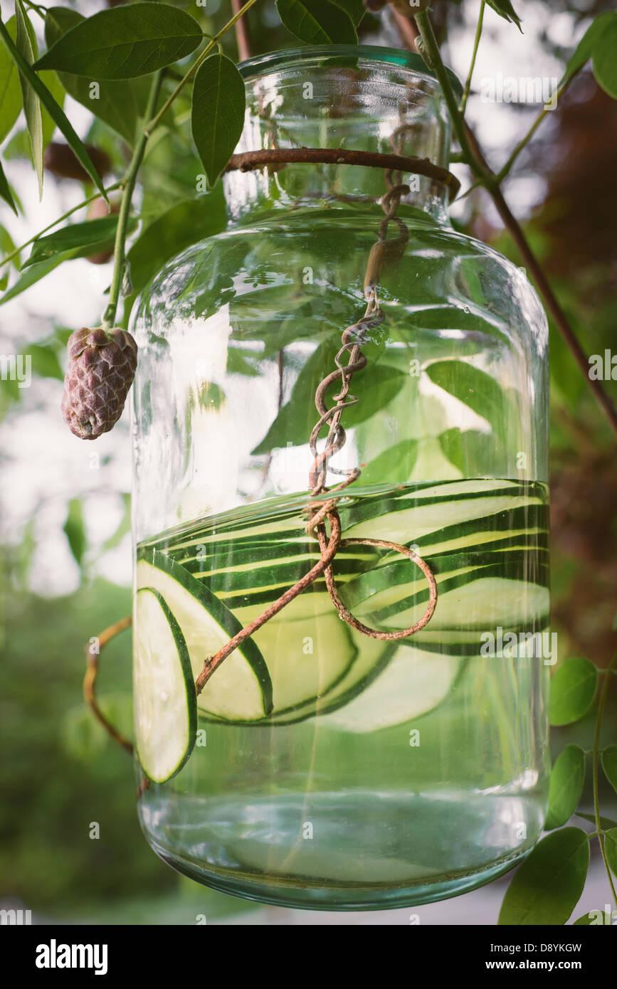 Une Glycine En Pot pot de l'eau de concombre bio se balançant d'une vigne de