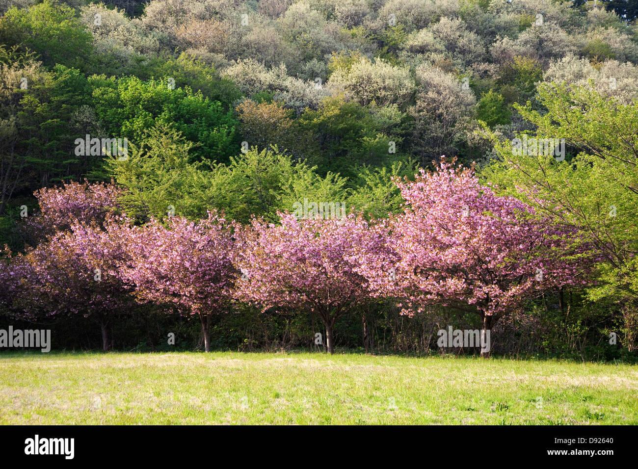 Fleurs de cerisier et de colline, Akita Japon Photo Stock