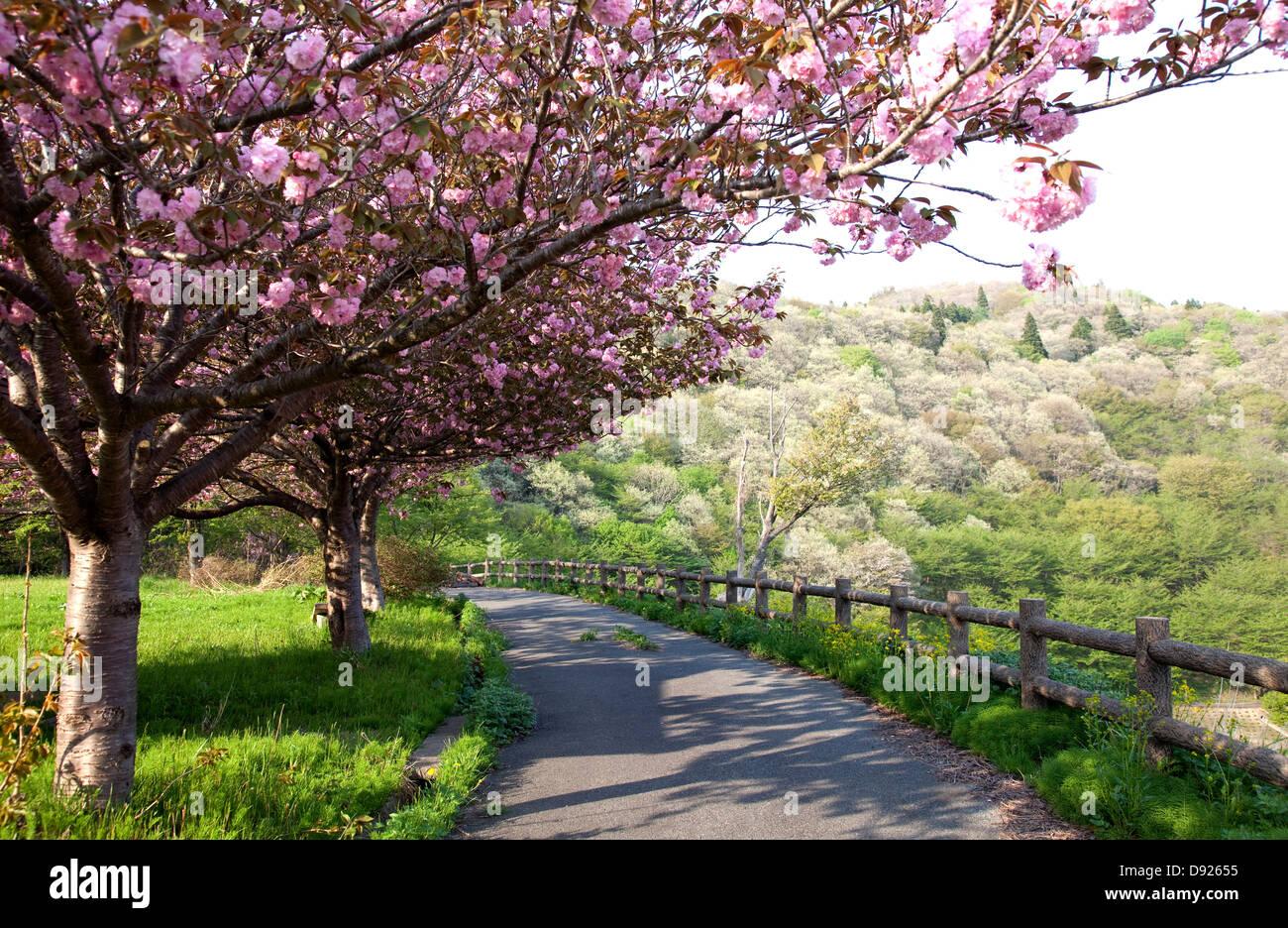 Cerisiers en fleurs, et le chemin d'Akita (Japon) Photo Stock