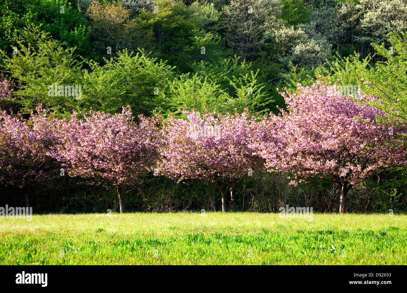 Fleurs de cerisier et de feuilles de source fraîche, Akita Japon Photo Stock