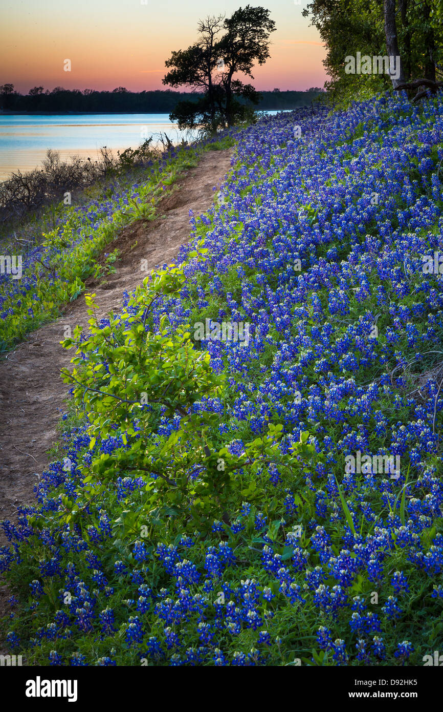 Bluebonnets à Grapevine Lake dans la région de North Texas Photo Stock